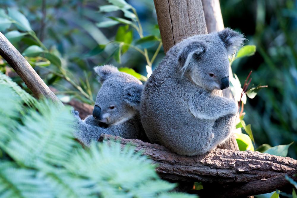 two koalas in a tree the're not bears gallery australis