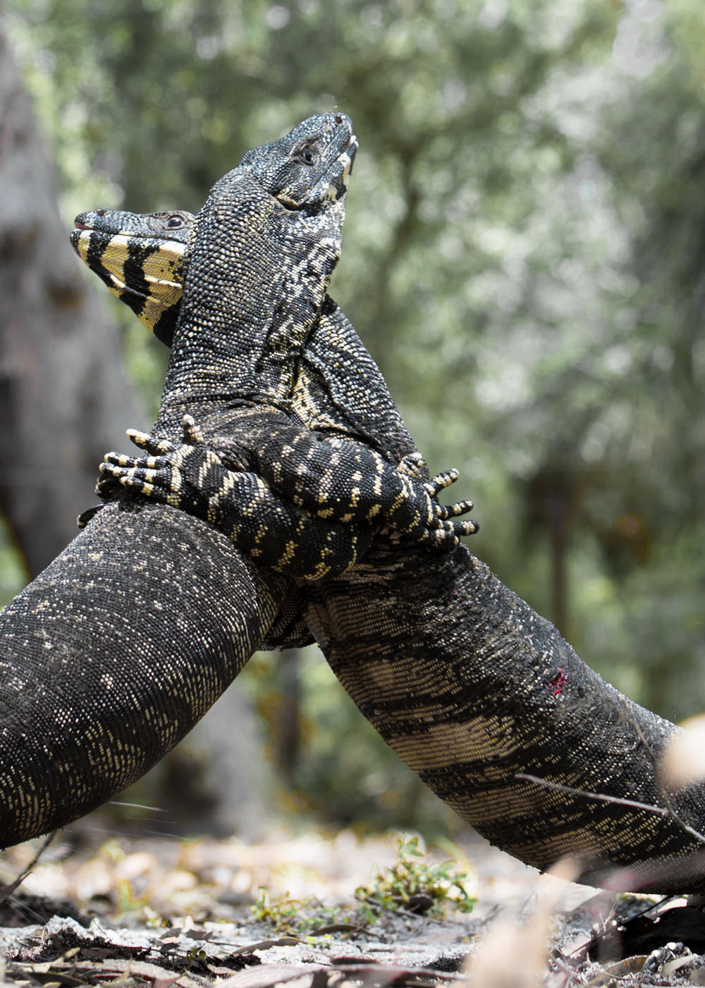 A goanna fight goes on for ages until there is a winner.