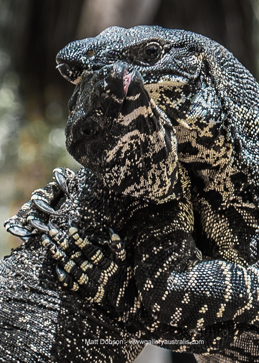 Claws of the goanna hold on tight
