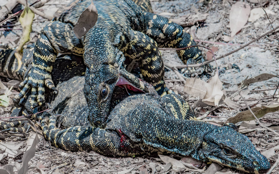 Wild Goanna, Battle Royale – Fight For Your Right to Party