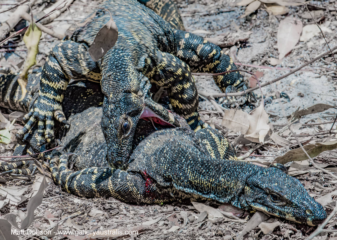 Goannas fight in Mungo Brush National Park