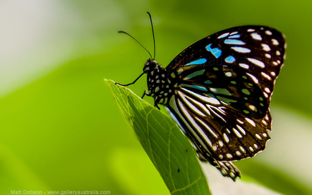 The Blue Tiger Butterfly from Queensland Sunshine Coast