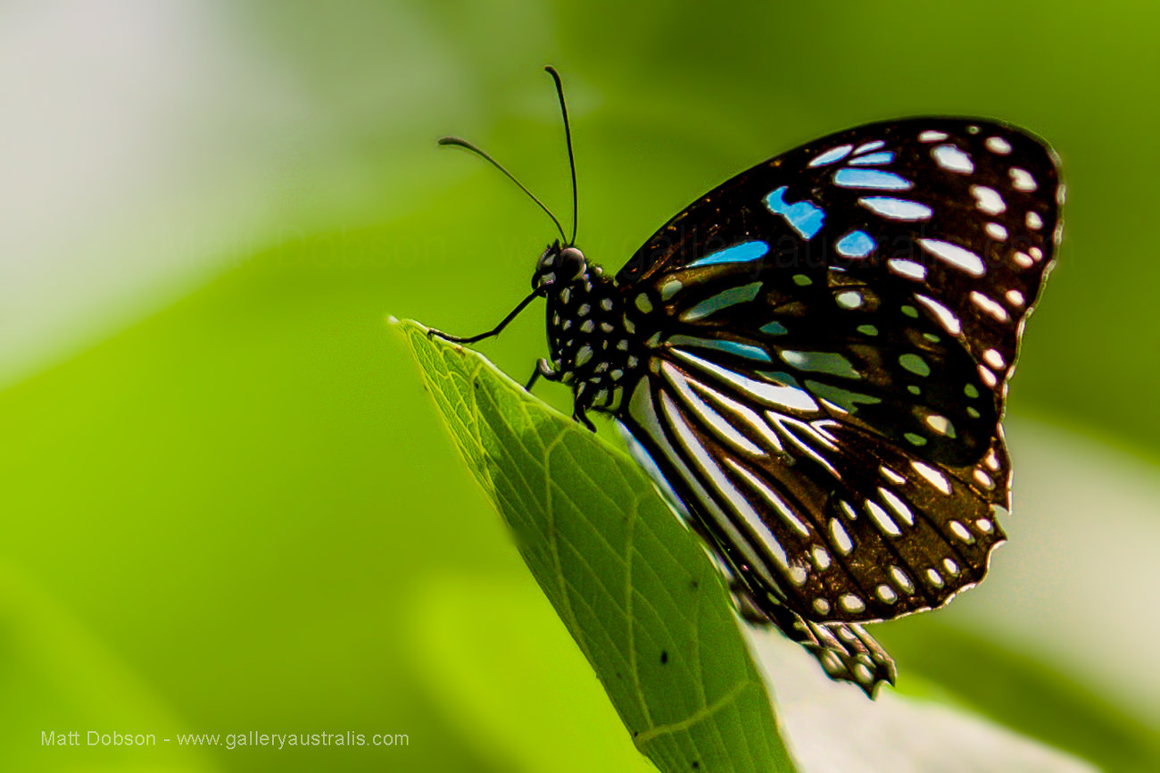 Blue Tiger Butterfly at Noosa Heads Queensland Australia