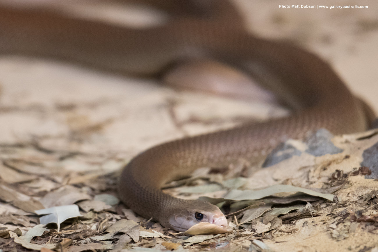 Coastal Taipan (common) 5th most venomous snake