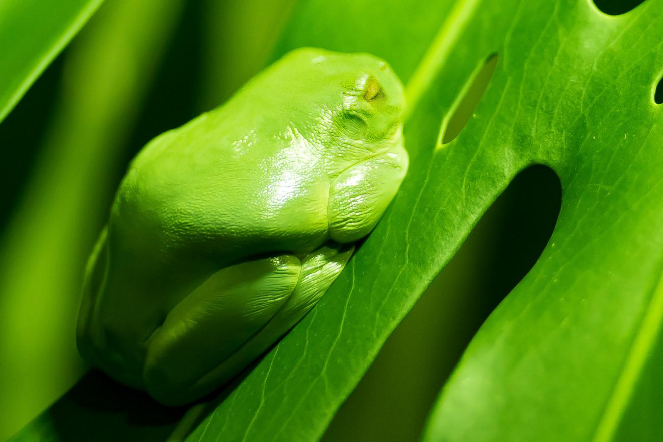 Green Tree Frog sleeping on a leaf