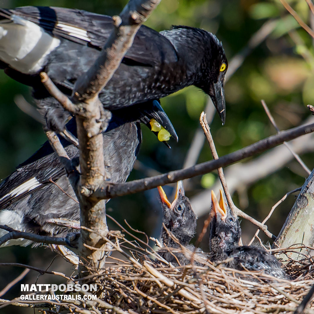 Magpies Nest feeding their chicks